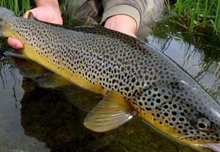 Iceland Trout Fishing – Hosted Big Laxa report
